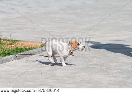 Puppy Jack Russell Terrier Runs On The Sidewalk. A Little Funny Dog In A Blue Collar Plays While Wal