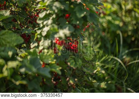 Red Currants On The Bush Branch In The Garden. Young Currant Berries Ripen On A Bush In The Garden,