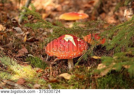 Amanita Muscaria Mushroom In The Forest, Around Fir Branches And Moss