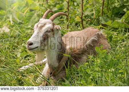 Goat Lies In The Grass In The Meadow, The Farmer Breeds And Grazes Goats, Goat Milk