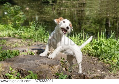 1 White Jack Russell Terrier Puppy In The Park On The Shore Of A Pond,  Pet In Nature