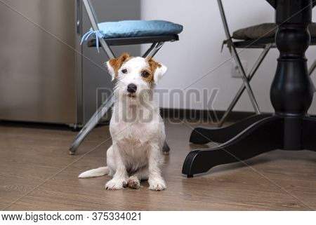 Jack Russell Terrier Dog Sits On The Kitchen Floor, Pet
