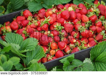 Delicious Juicy Red Strawberries In A Basket