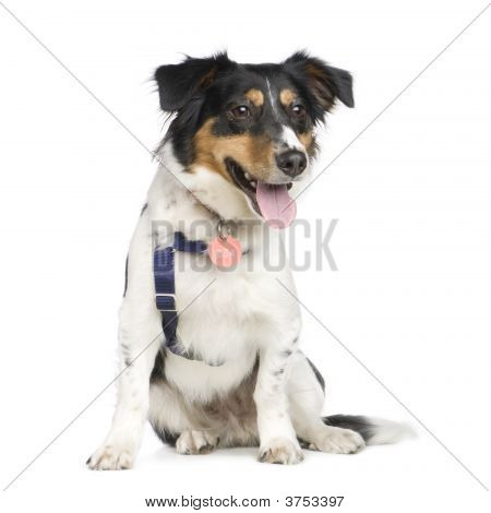 Mixed-Breed Dog with a jack russel (18 months) in front of a white background poster