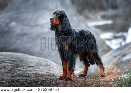 Setter Gordon Stands Against A Background Of Gray Rocks.