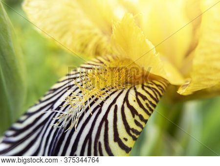 Macro Photo Of Yellow Iris Flower With Focus On Pestle And Stamen With Sunlight. Stock Photo.