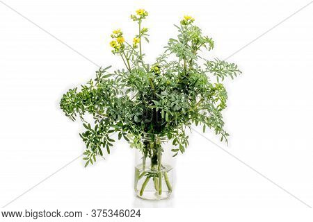 Rue Flowering Plant In A Glass With Water On White Background.  ( Ruta Graveolens )