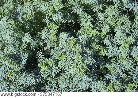 Fresh Large Rue Herb ( Ruta Graveolens )  Plant Outdoors, Teal Foliage.plant For Medicinal, Culinary