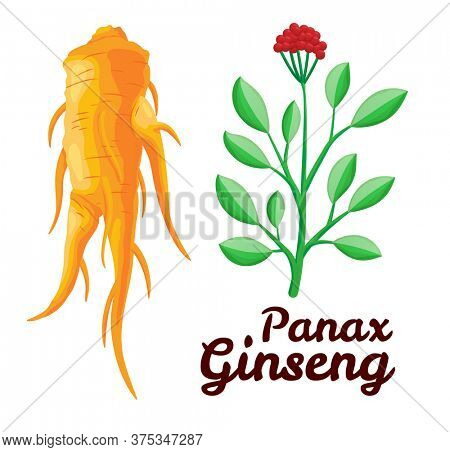 Root and leaves panax ginseng. Healthy lifestyle. For traditional medicine, gardening. Biological additives are. colorful flat illustration of medicinal plants. Isolated on white background