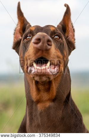 Brown And Tan Doberman Dobermann Dog With Cropped Ears And Open Mouth. Closeup Muzzle Portrait In Fu