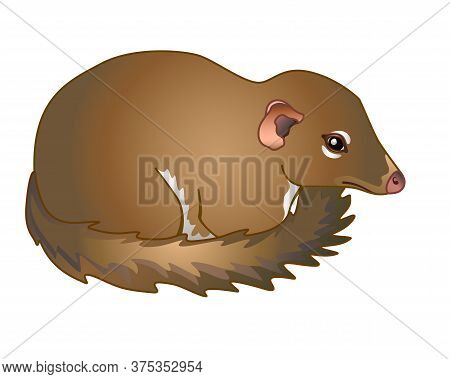 Tupaia - Small Primate - Vector Full Color Picture.asian Small Animal - Tupaia Common. Tupaia Cub.
