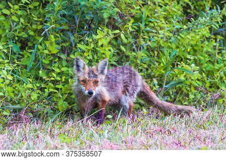 Juvenile Eastern American Red Fox (vulpes Vulpes Fulvus) In Bombay Hook National Wildlife Refuge. De
