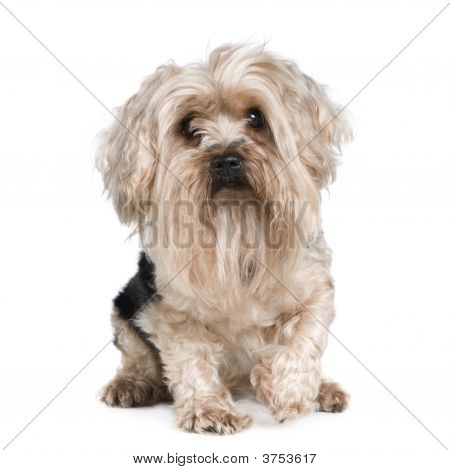 Yorkshire Terrier (5 years) in front of a white background poster