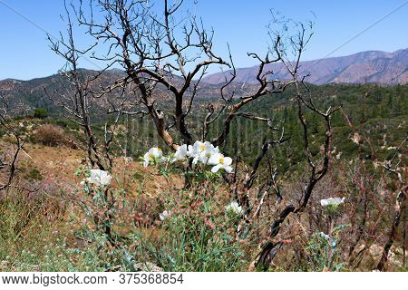 Matilija Poppy Plant Flower Blossoms Besides Burnt Chaparral Plants From A Past Wildfire On An Arid