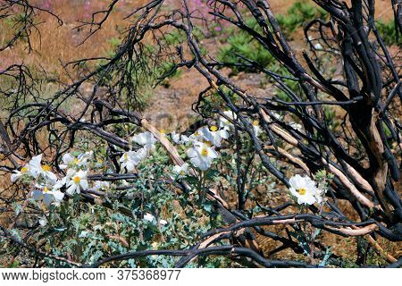 Matilija Poppy Plant Flower Blossoms Besides A Burnt Chaparral Shrub Caused From A Past Wildfire Tak