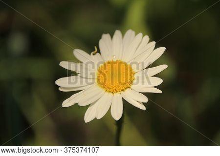 White Flower Yellow Pistil White Petals Green Stem