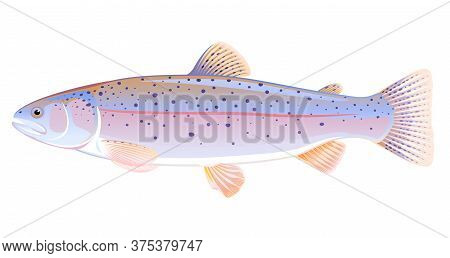 Realistic Rainbow Trout Fish Isolated Illustration, One Freshwater Fish On Side View