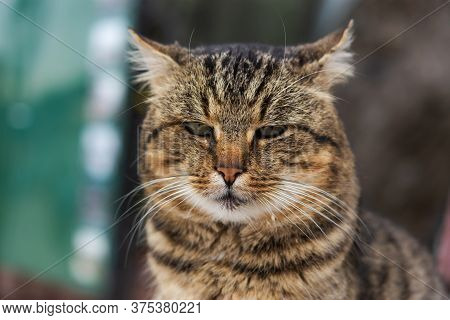 Striped Cat Portrait Close-up. Angry Street Cat. A Thoughtful Look With Narrowed Eyes. Green-eyed Be