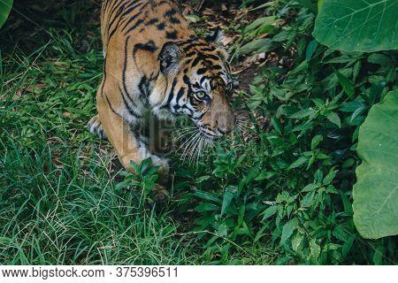Sumatran Tiger (panthera Tigris Sumatrae) In The Forest