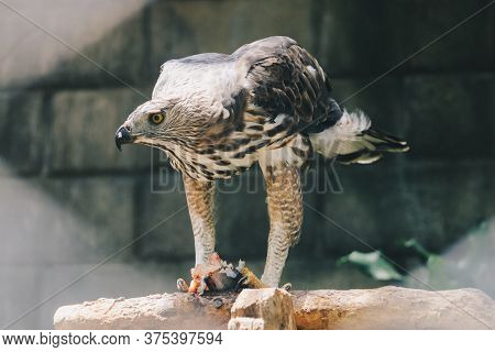 The changeable hawk-eagle or crested hawk-eagle (Nisaetus cirrhatus) sitting on the branch eating fish on his leg. Predator bird on the tree isolated on black background.