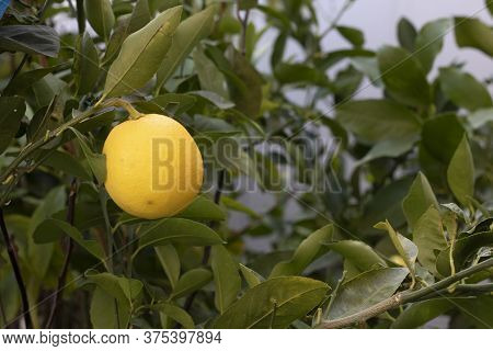 Yellow Lemon Hanging On Tree. Blurred Background. The Photo Was Taken At The Market. Close Up.