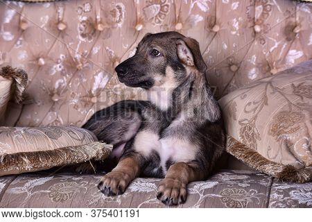 Puppy Dog On The Couch
