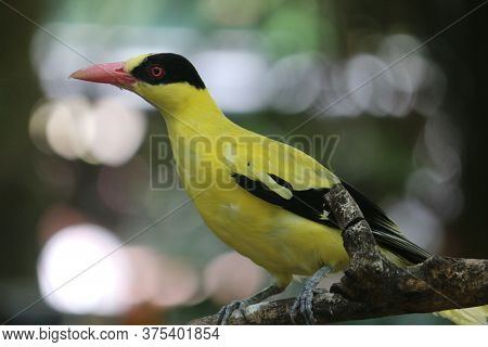 Black Naped Oriole (oriolus Chinensis) Or Single Yellow Bird Perched On A Tree Branch.