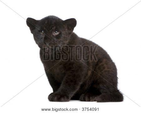 Jaguar cub (2 months) - Panthera onca in front of a white background poster