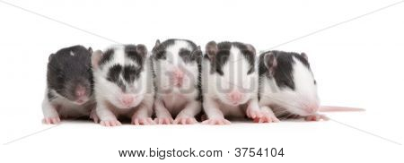 babby Rat in front of a white background poster
