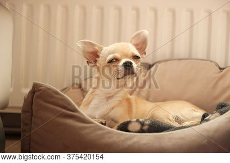 Closeup Portrait Of Small Funny Beige Mini Chihuahua Dog, Puppy Laying In Dog Bed
