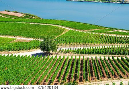 Vineyards Green Fields Landscape With Grapevine Rows And Tree On Hills, River Rhine Valley, Rheingau