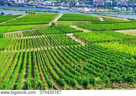 Vineyards Green Fields Landscape With Grapevine Rows, Grape Trellis And Path Road On Hills In River