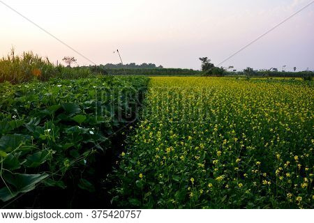 Mustard Plants With Flowers, Brassica Rapa L And Green Vines Leaves And White Flower Of Lauki Plants