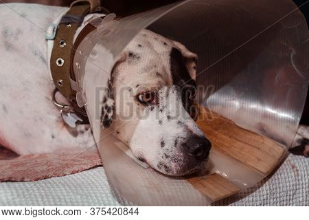 Dog Phenotype English Pointer In A Protective Medical Plastic Collar