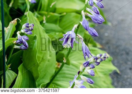 Wide Angle View Of A Lavender Hosta Plant That Is Blooming