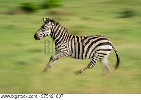 Slow Pan Of Plains Zebra Crossing Grass