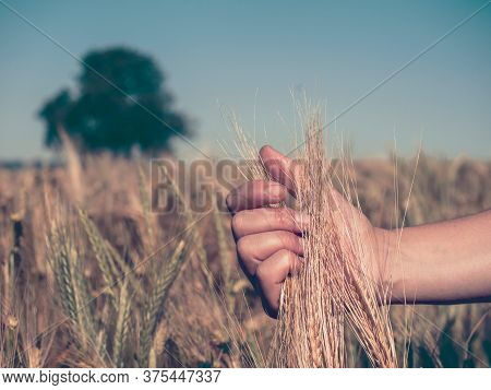 Woman Hold Barley Ears. Barley Field On A Sunny Day, Solitaire Tee At Horizon Out Of Focus. Ear Of R