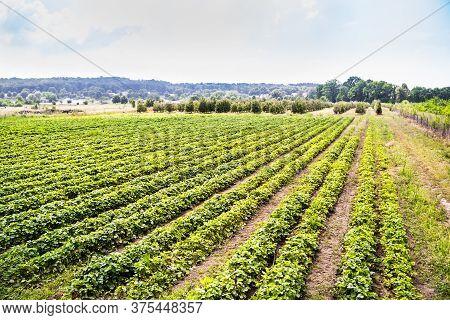Landscape Monoculture Strawberry Plant Field Growth Farm