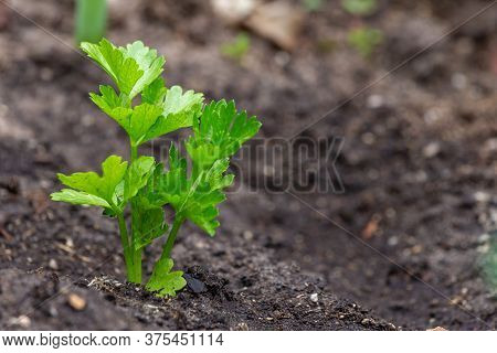 Small Celeriac Seedling Also Called Celery Root Or Knob Celery In The Vegetable Garden