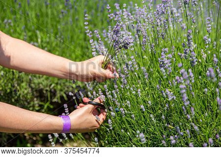 Woman Hand Picking Lavender Flowers On The Field, With Sunlight Rays
