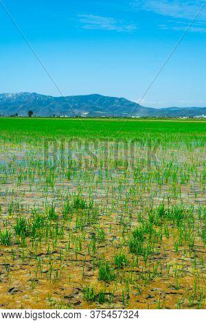 a view of a waterlogged paddy field in the Ebro Delta in Deltebre, Catalonia, Spain