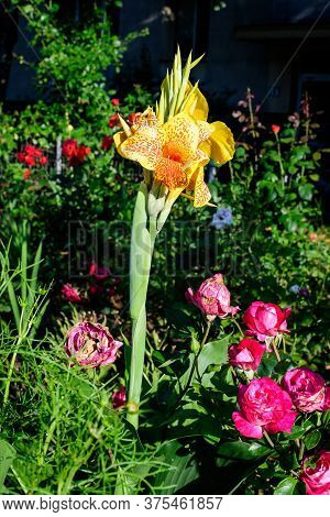Vivid Yellow Flowers Of Canna Indica, Commonly Known As Indian Shot, African Arrowroot, Edible Canna