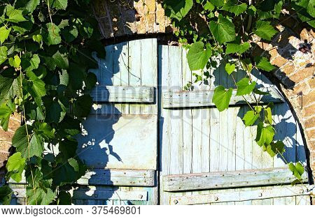 Scenic View Of Old Wooden Gate Into The Cellar Covered By Grapevine. Grapevine Leaves Border. Natura