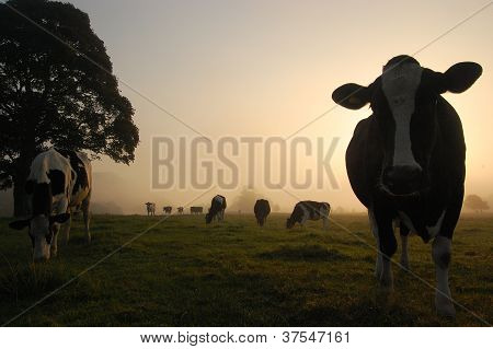 Cows grazing in the morning sun