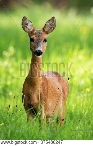 Lovely Roe Deer Doe Standing On Meadow In The Summer Nature.