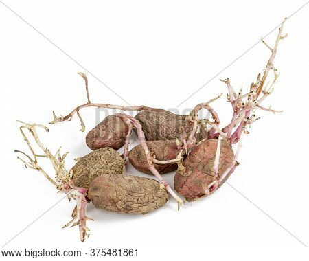 Old Germinated Pink Potatoes Isolated On White Background. Big Sprouts