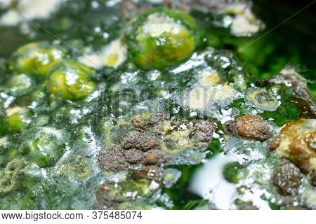 Green Mold Background. Mold On Water Background, Fungus, Bacteria , Mold Growth On Surface. Polluted