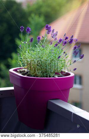 Lavandula Angustifolia In A Flower Pot On A Balcony - Beautiful Purple Plant In Full Bloom. True Lav