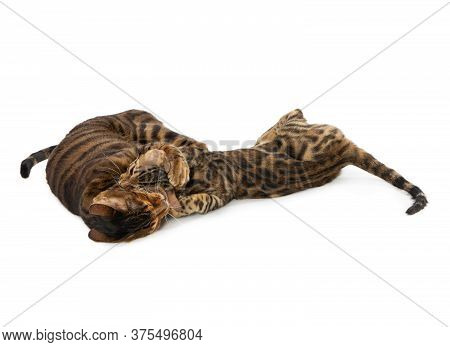 Two Cats Fight And Bite Each Other. Isolated On White Background. The Cat Bites The Head Of A Kitten