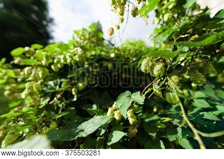 Two Wild Hop Cones Hang From A Branch In A Wildlife Garden In London, Uk. Hops Are Used In Brewery T